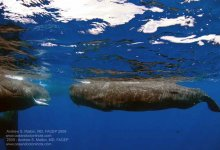 Gallery 14 – Dominica Sperm Whales 2009